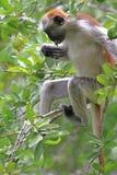 Rode colobus - endemisch van Zanzibar Stock Afbeeldingen