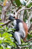 Rode colobusaap die omhoog in het bos staren royalty-vrije stock foto