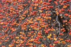Rode crabapplesboom royalty-vrije stock afbeelding
