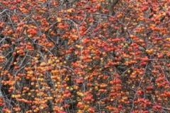 Rode crabapplesboom royalty-vrije stock foto