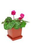 Rode cyclaam in een pot Royalty-vrije Stock Afbeelding