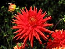 Rode Dahlia royalty-vrije stock foto