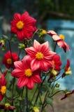 Rode dahlia stock afbeelding