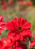 Rode dahlia Stock Fotografie