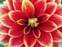 Rode dahlia Royalty-vrije Stock Afbeeldingen