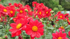 Rode dahlia in de tuin Royalty-vrije Stock Afbeelding