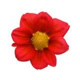Rode dahlia die op witte achtergrond wordt geïsoleerdi Stock Fotografie