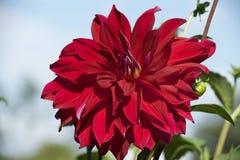 Rode dahlia in tuin Stock Foto's