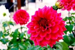 Rode dahlia in tuin Royalty-vrije Stock Afbeeldingen