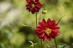 Rode dahliabloemen royalty-vrije stock fotografie