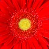 Rode Daisy Stock Afbeelding