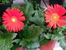 Rode Daisy Stock Afbeeldingen