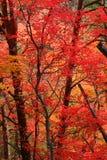 Rode dalingsbladeren Royalty-vrije Stock Afbeeldingen