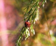 Rode Dame Bug Royalty-vrije Stock Fotografie