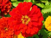 Rode de bloem dichte omhooggaand van Zinnia royalty-vrije stock foto