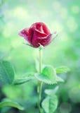 Rode de bloem nam in een tuin toe Royalty-vrije Stock Afbeelding