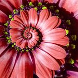 Rode de bloem spiraalvormige abstracte fractal van het kamillemadeliefje effect patroonachtergrond Rode surreal fractal van het b Royalty-vrije Stock Afbeeldingen