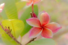 Rode de bloembloei van Almeria Royalty-vrije Stock Afbeelding