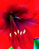 Rode de bloemclose-up van de Amaryllis Stock Foto's