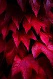 Rode de boombladeren van de Esdoorn Stock Foto's