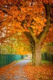 Rode de herfst eiken boom Stock Afbeelding