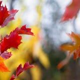 Rode de herfstbladeren Stock Afbeelding