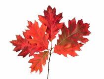 Rode de herfstbladeren royalty-vrije stock foto