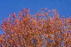 Rode de herfstbladeren. Stock Afbeelding