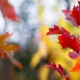 Rode de herfstbladeren Stock Foto