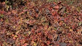 Rode de herfstbladeren - achtergrond stock video