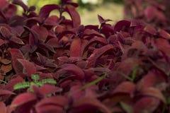 Rode de herfstbladeren in een mooie tuin stock foto's