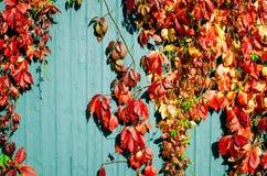 Rode de herfstbladeren met houten achtergrond Stock Foto