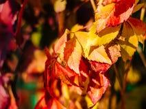 Rode de herfstbladeren met vage achtergrond Royalty-vrije Stock Afbeelding