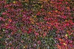 Rode de herfstbladeren op een muur, achtergrond Royalty-vrije Stock Afbeelding
