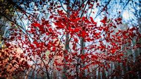 Rode de herfstfragmenten Stock Foto's