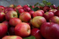Rode de herfstoogst van de appelenclose-up royalty-vrije stock foto's