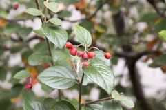 Rode de herfstvruchten van Cotoneasterintegerrimus en groene bladeren op takken, rijpende harige bessen stock afbeeldingen