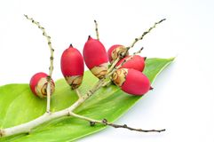 Rode de palmvruchten van het Zegelwas op groen blad Stock Foto's