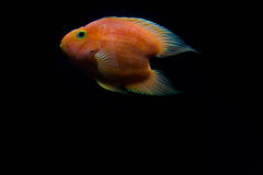 Rode de Papegaaienvissen van de Bloedliefde Stock Fotografie