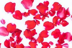 Rode de schoonheid nam bloemblaadje op witte achtergrond toe Stock Foto