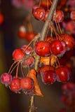 Rode de winterbessen, verdonkerden zij en verschrompeld van de koude, maar nog blijven zeer mooi Royalty-vrije Stock Fotografie