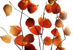 Rode decoratieve tuininstallaties Stock Afbeeldingen