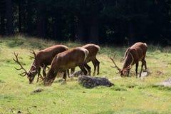 Rode deers aan het weiland Royalty-vrije Stock Afbeelding