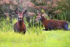 Rode deers in een opheldering royalty-vrije stock foto's