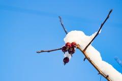 Rode die bessen met sneeuw het hangen op de hemel worden behandeld Royalty-vrije Stock Foto's