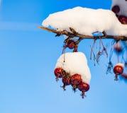 Rode die bessen met sneeuw het hangen op de hemel worden behandeld Royalty-vrije Stock Afbeeldingen