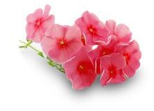 Rode die bloemen op de witte achtergrond worden geïsoleerd Royalty-vrije Stock Fotografie