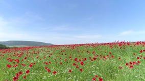 Rode die bloemen in tarwe op zonnige de lentedag wordt ingediend schot Hoogste mening van het papavergebied op een Zonnige dag Bl stock footage