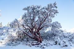 Rode die boom door sneeuw wordt behandeld Royalty-vrije Stock Foto