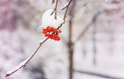 Rode die bossen van lijsterbes met de eerste sneeuw worden behandeld De winter stock foto's